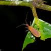 Reduviidae sp. Assassin Bug<br /> 2369, Gunung Mulu National Park, Sarawak, East Malaysia, April 18, 2016