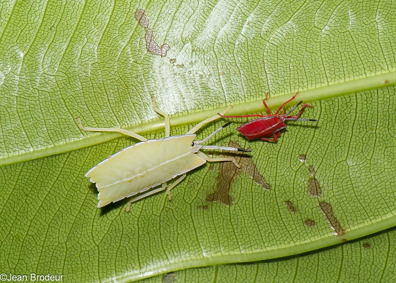 Pycanum rubens nymph , Tessaratomidae, Punaise phytophage, <br /> 3300, Miri, Sarawak, East Malaysia, April 22, 2016
