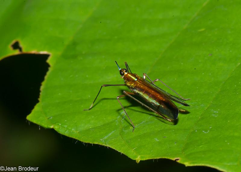 Miasa nigromaculata, Planthopper, Dictyopharidae, Fulgoromorpha, Hemiptera<br /> 2684, Gunung Mulu National Park, Sarawak, East Malaysia, April 19, 2016