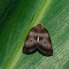 Planthopper sp. Ricaniidae, Hemiptera<br /> 3133, Gunung Mulu National Park, Sarawak, East Malaysia, April 21, 2016