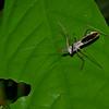 Reduviidae sp. Assassin Bug<br /> 2480, Gunung Mulu National Park, Sarawak, East Malaysia, April 18, 2016