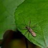 Reduviidae sp. Assassin Bug<br /> 1949, Bako National Park, Sarawak, East Malaysia, April 15, 2016