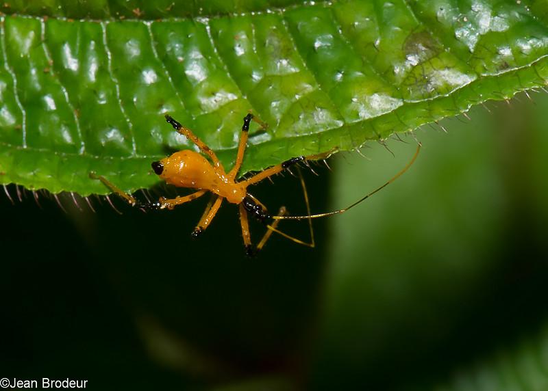 Cosmolestes picticeps nymph ,  Yellow assassin Bug, Reduviidae, Hemiptera<br /> 0822, Cameron Highlands, Pahang, West Malaysia, April 7, 2016