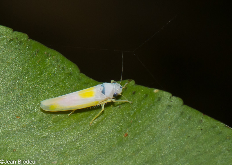 Leafhopper sp. Cicadellidae<br /> 1336, Fraser Hill, Pahang, West Malaysia, April 10, 2016