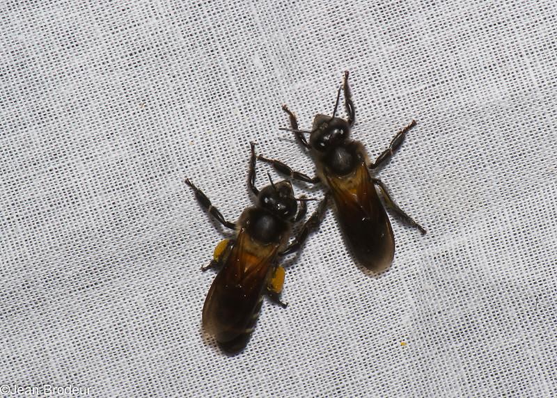 Apis sp.  Apidae, <br /> 0573, Cameron Highlands, Pahang, West Malaysia, April 7, 2016