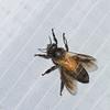 Apis dorsata binghami,  Apidae, Abeille géante de Malaisie<br /> 0783, Cameron Highlands, Pahang, West Malaysia, April 7, 2016
