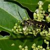 Campsomeris sp. Scoliidae <br /> 1595, Bako National Park, Sarawak, East Malaysia, April 12, 2016