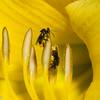Trigona sp, Stingless bees, Meliponini, Apidae<br /> 0437, Cameron Highlands, Pahang, West Malaysia, April 6, 2016