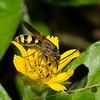 Scoliid wasp sp. <br /> 1793, Bako National Park, Sarawak, East Malaysia, April 14, 2016