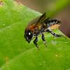 Megachilidae sp. Leaf cutter bees<br /> 3412, Miri, Sarawak, East Malaysia, April 22, 2016