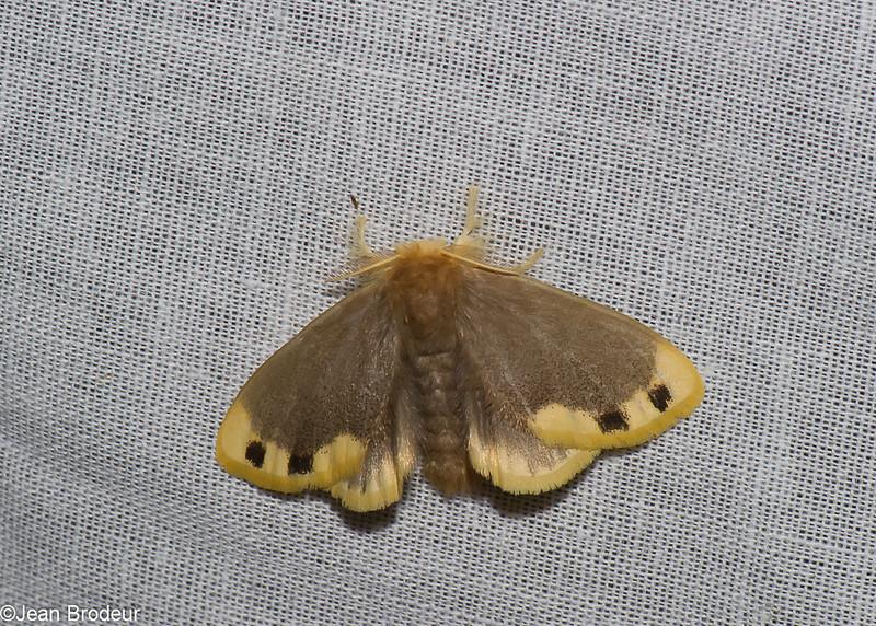 Arna punctapex,  Lymantriinae, Erebidae<br /> 0776, Cameron Highlands, Pahang, West Malaysia, April 7, 2016