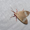 Amerila sp. Arctiinae, Erebidae<br /> 0656, Cameron Highlands, Pahang, West Malaysia, April 7, 2016