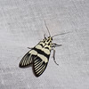 Heortia vitessoides , Hercynini, Odontiinae, Crambidae<br /> 0604, Cameron Highlands, Pahang, West Malaysia, April 7, 2016