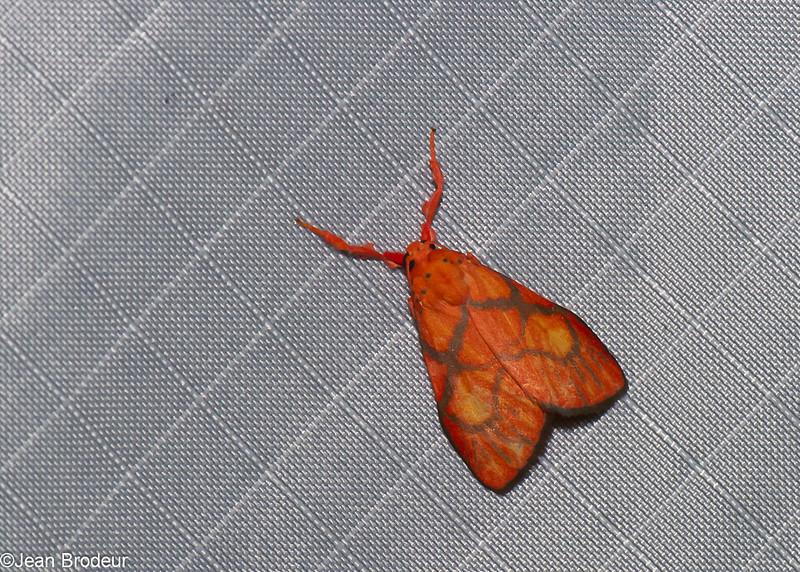 Barsine sp. Nudariina, Lithosiini, Arctiinae<br /> 1069, Cameron Highlands, Pahang, West Malaysia, April 8, 2016