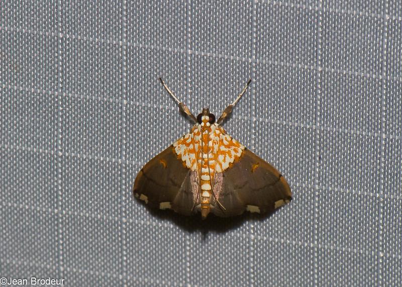 Agrotera sp. Spilomelinae sp ,Crambidae<br /> 0956, Cameron Highlands, Pahang, West Malaysia, April 8, 2016