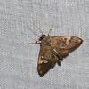 Spilomelinae sp ,Crambidae<br /> 0660, Cameron Highlands, Pahang, West Malaysia, April 7, 2016