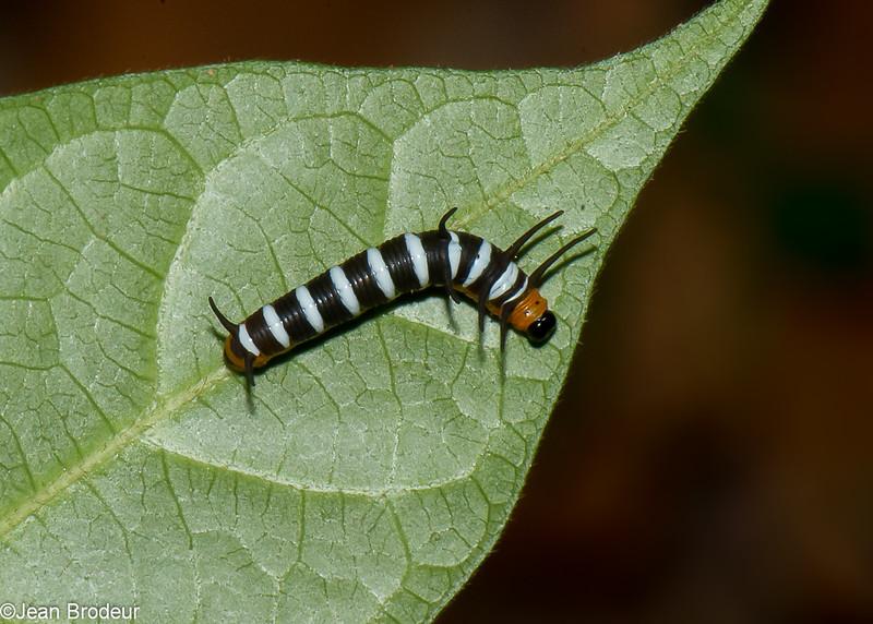 Midsize Euploea camaralzeman ,Danainae, Nymphalidae<br /> 3342, Miri, Sarawak, East Malaysia, April 22, 2016