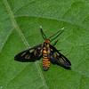 Amata Huebneri,  Wasp moth, Syntomini, Arctiinae, Erebidae<br /> 1722, Bako National Park, Sarawak, East Malaysia, April 13, 2016