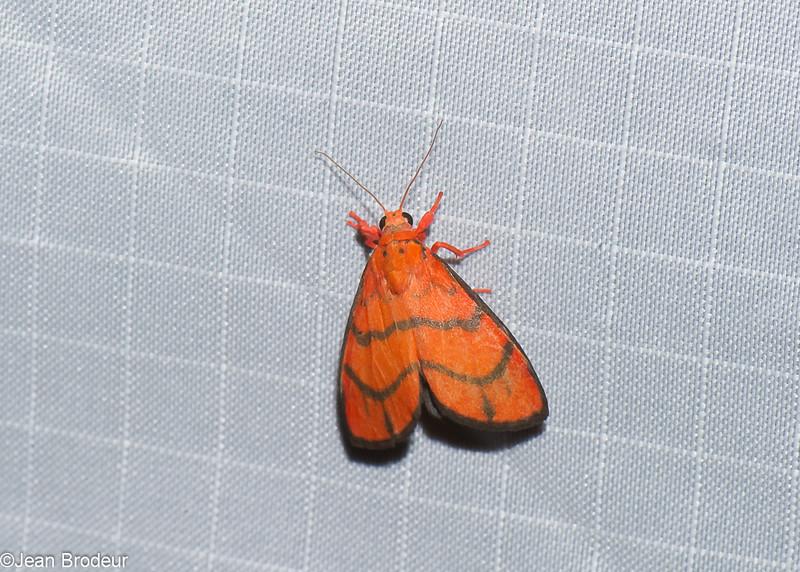 Barsine lineatus,  Nudariina, Lithosiini, Arctiinae<br /> 1317, Fraser Hill, Pahang, West Malaysia, April 10, 2016