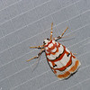 Cyana malayensis, Lithosiini, Arctiinae, Erebidae<br /> 0984, Cameron Highlands, Pahang, West Malaysia, April 8, 2016