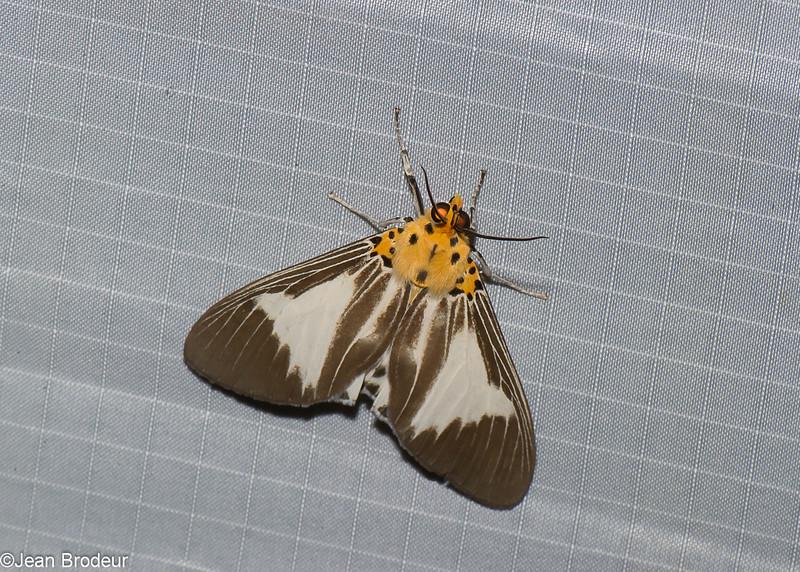 Asota clara,  Aganainae, Erebidae<br /> 0948, Cameron Highlands, Pahang, West Malaysia, April 8, 2016