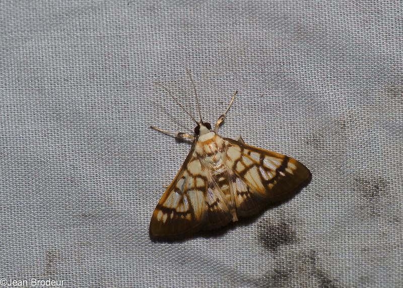Spilomelinae sp ,Crambidae<br /> 1097, Cameron Highlands, Pahang, West Malaysia, April 8, 2016