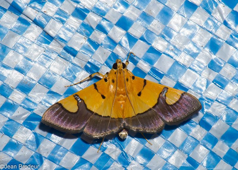 Botyodes cf. flavibasalis, Spilomelinae, Pyraustinae, Crambidae<br /> 0706, Cameron Highlands, Pahang, West Malaysia, April 7, 2016
