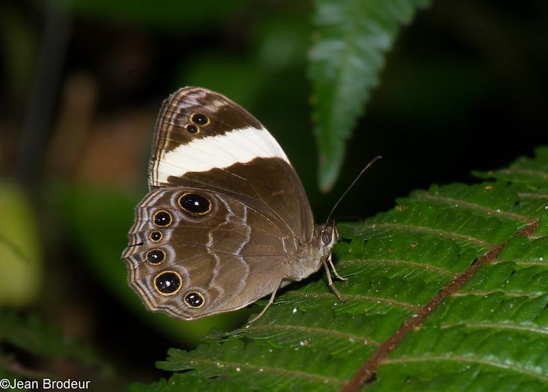 Lethe verma, Satyrinae, Nymphalidae<br /> 0476, Cameron Highlands, Pahang, West Malaysia, April 6, 2016