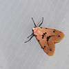 Spilosoma sp. Spilosomini, Arctiidae<br /> 0550, Cameron Highlands, Pahang, West Malaysia, April 7, 2016