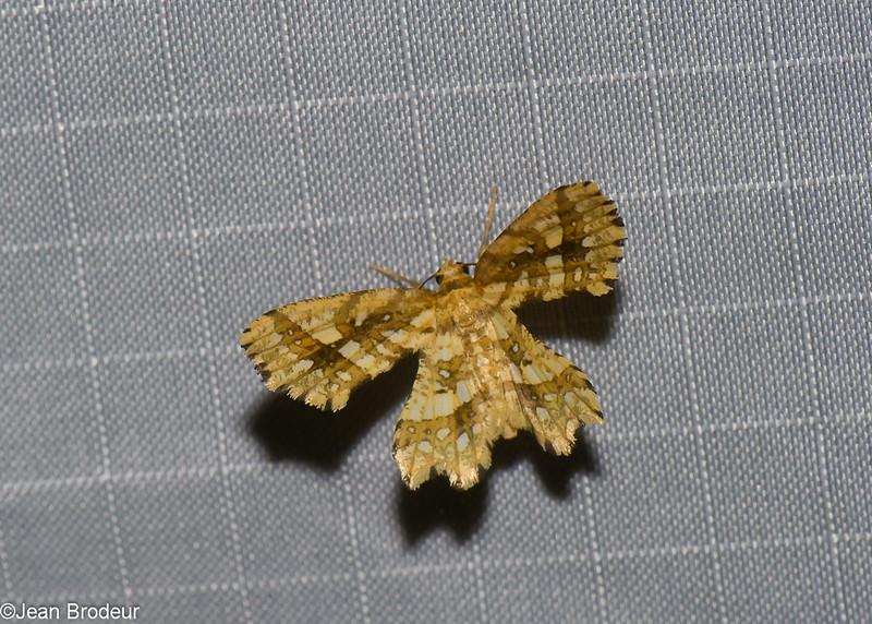 Fritillerinnys clathraria, Ennominae, Geometridae<br /> 0959, Cameron Highlands, Pahang, West Malaysia, April 8, 2016