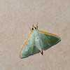 Arthroschista tricoloralis, Spilomelinae, Crambidae<br /> 2971, Gunung Mulu National Park, Sarawak, East Malaysia, April 20, 2016