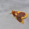Barsine rubricostata,  Nudariina, Lithosiini, Arctiinae, Erebidae<br /> 0949, Cameron Highlands, Pahang, West Malaysia, April 8, 2016