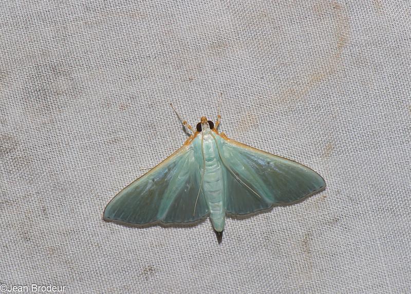 Arthroschista sp, Spilomelinae, Crambidae<br /> 1122, Cameron Highlands, Pahang, West Malaysia, April 8, 2016
