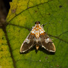 Aetholix flavibasalis, Spilomelinae, Crambidae<br /> 1222, Fraser Hill, Pahang, West Malaysia, April 9, 2016