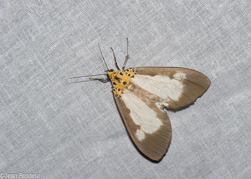 Asota plana, Aganainae, Erebidae<br /> 0761, Cameron Highlands, Pahang, West Malaysia, April 7, 2016
