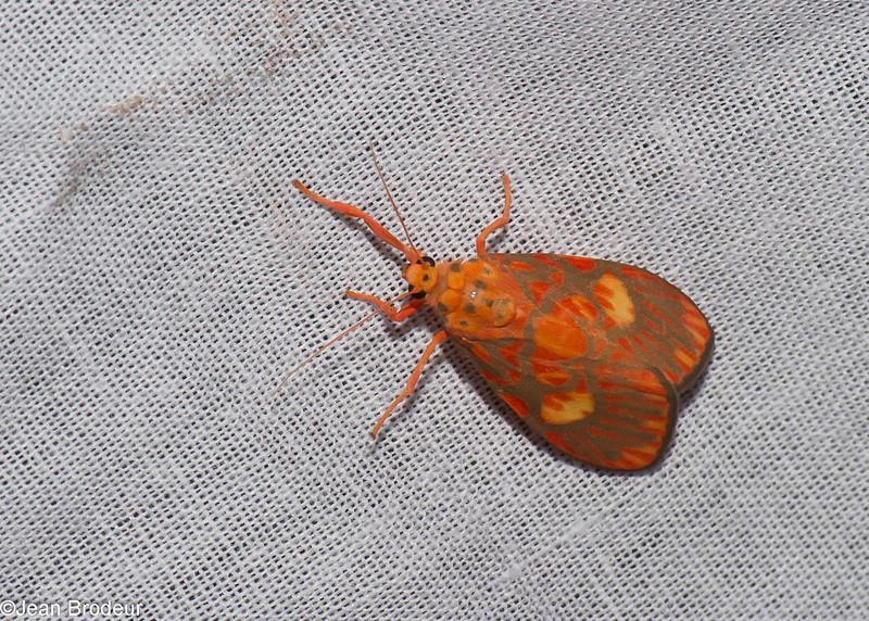 Barsine flavodiscalis, Nudariina, Lithosiini, Arctiinae<br /> 0544, Cameron Highlands, Pahang, West Malaysia, April 7, 2016