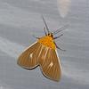 Asota producta , Aganainae, Erebidae<br /> 0927, Cameron Highlands, Pahang, West Malaysia, April 8, 2016