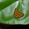 Choreutis sp. Choreutidae<br /> 2240, Gunung Mulu National Park, Sarawak, East Malaysia, April 18, 2016
