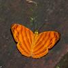 Chersonesia rahria, Wavy Maplet, Cyrestinae, Nymphalidae<br /> 2495, Gunung Mulu National Park, Sarawak, East Malaysia, April 18, 2016