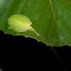 Acauloplacella sp.  Leaf Mimic Katydid, Phyllomimini, Pseudophyllinae, Phaneropteridae, Tettigoniidae<br /> 2077, Kubah National Park, Sarawak, East Malaysia, April 16, 2016