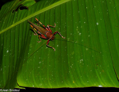 Malaysian Orthoptera -  Orthopteres de Malaysie