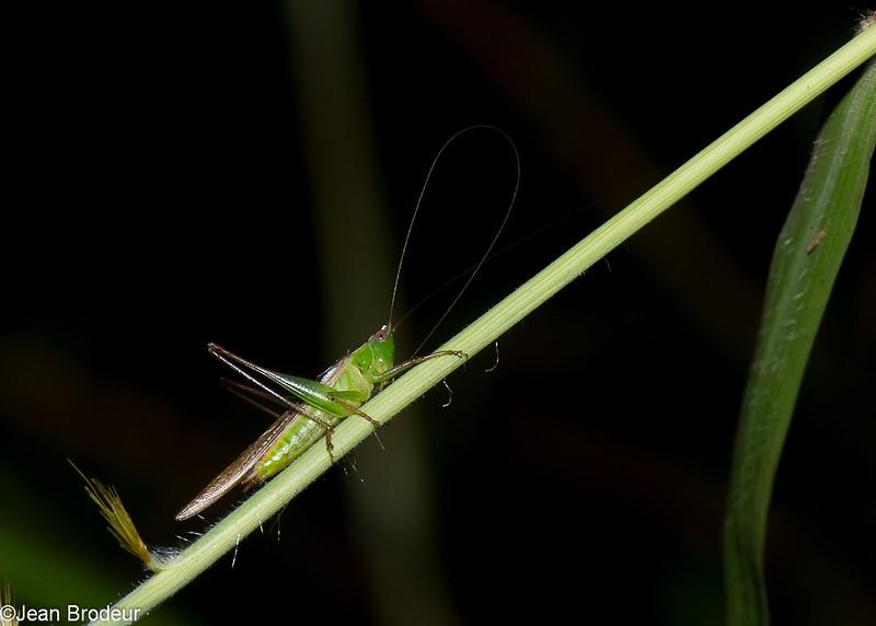 Katydid sp. Tettigoniidae, Ensifera, Orthoptera<br /> 1326, Fraser Hill, Pahang, West Malaysia, April 10, 2016