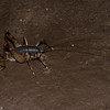 Rhaphidophora oophaga, Giant Malaysian Cave Cricket, Tettigoniidea,  Ensifera , Orthoptera<br /> 1832, Bako National Park, Sarawak, East Malaysia, April 14, 2016