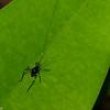 Katydid nymph,  Phaneropteridae, Tettigoniidae, Ensifera, Orthoptera<br /> 2111, Kubah National Park, Sarawak, East Malaysia, April 16, 2016