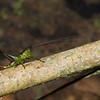 Katydid nymph, Tettigoniidae<br /> 1776, Bako National Park, Sarawak, East Malaysia, April 13, 2016
