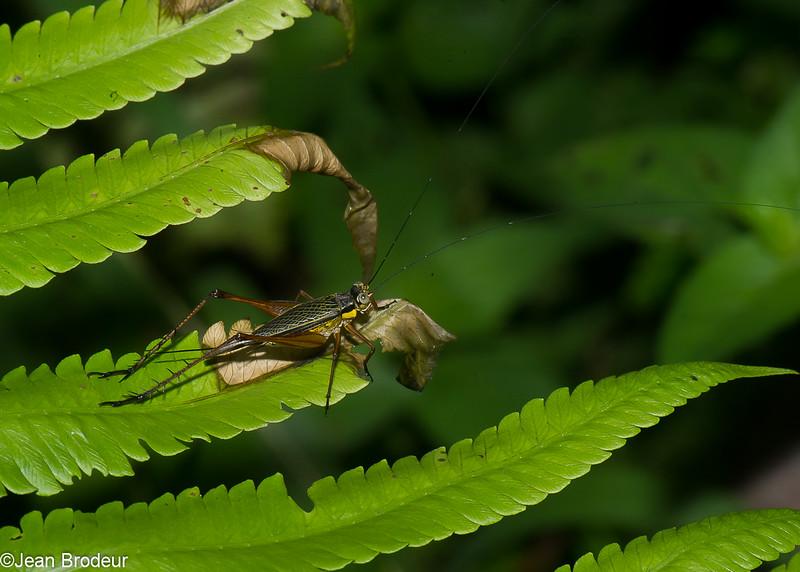 Nisitrus sp.female,  Eneopterinae, Gryllidae, Orthoptera<br /> 2781, Gunung Mulu National Park, Sarawak, East Malaysia, April 19, 2016