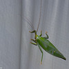 Acauloplacella sp.  Leaf Mimic Katydid, Phyllomimini, Pseudophyllinae, Phaneropteridae, Tettigoniidae<br /> 0539, Cameron Highlands, Pahang, West Malaysia, April 7, 2016
