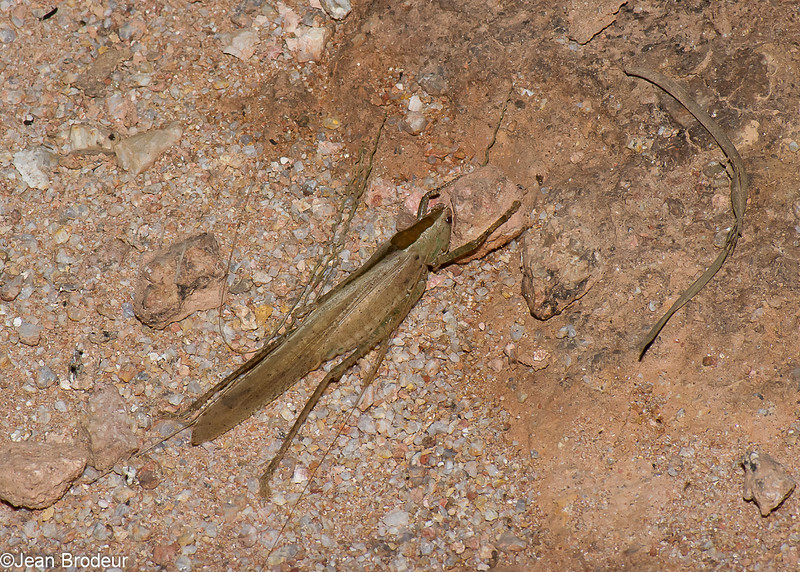 Palaeoagraecia brunnea, Agraeciini, Conocephalinae, Tettigoniidae, Ensifera, Orthoptera<br /> 1059, Cameron Highlands, Pahang, West Malaysia, April 8, 2016