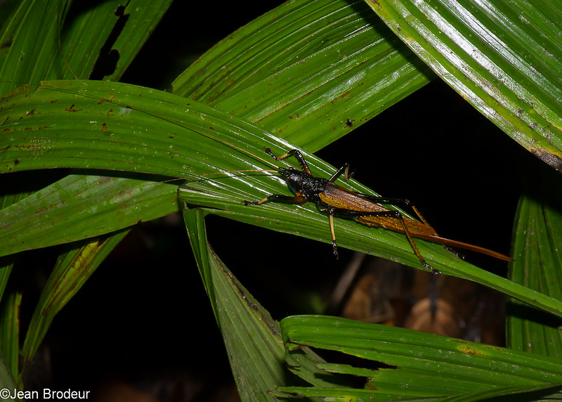 Eumacroxiphus sp. female, Liarina, Agraeciini, Conocephalinae, Tettigoniidae <br /> 2631, Gunung Mulu National Park, Sarawak, East Malaysia, April 19, 2016