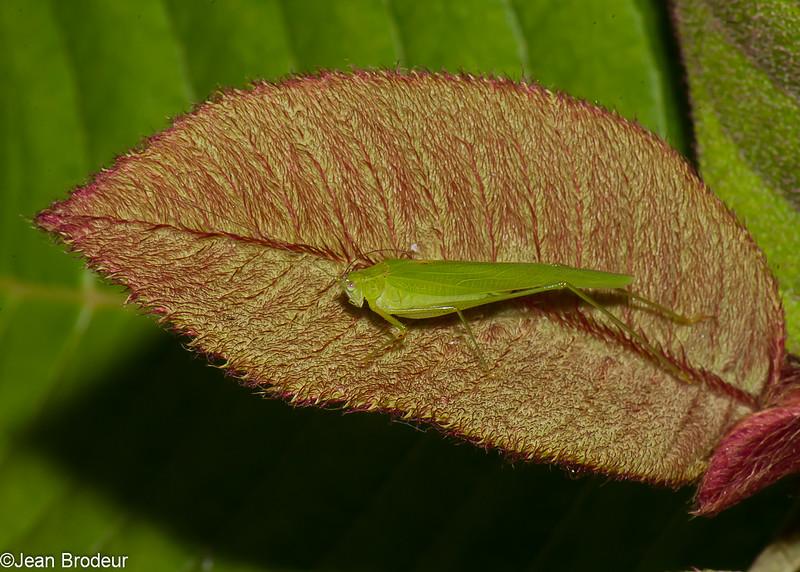 Katydid sp. Tettigoniidae, Ensifera, Orthoptera<br /> 0849, Cameron Highlands, Pahang, West Malaysia, April 8, 2016